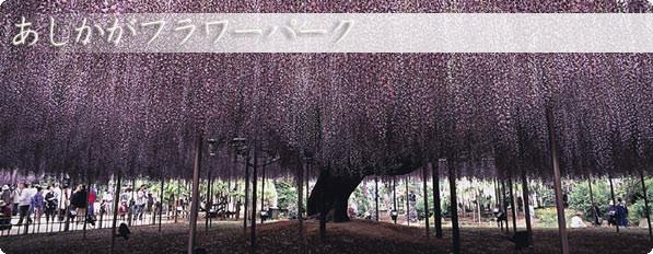 日本一の大藤あしかがフラワーパーク